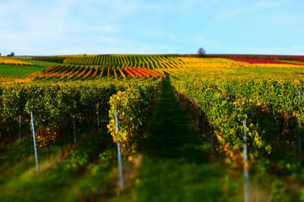 A view of the vineyards in one of the best wine regions in Europe