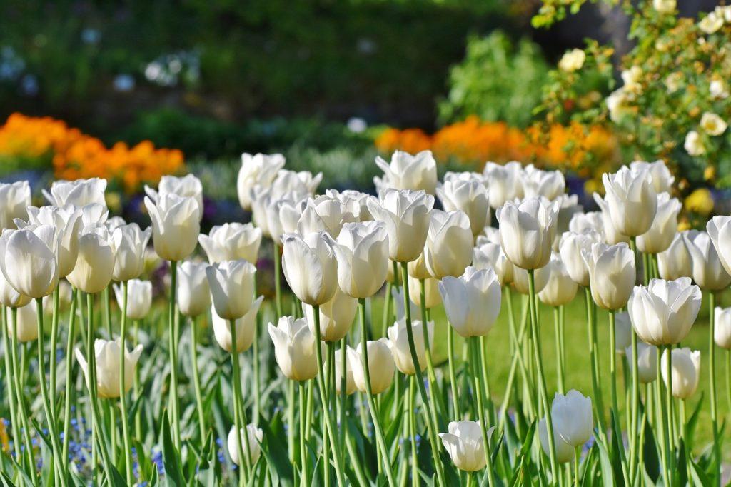 weiße Tulpen in den Niederlanden